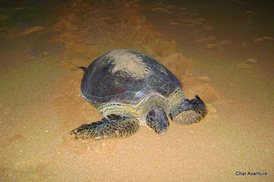 09._želve_na_plaži_valijo_jajca